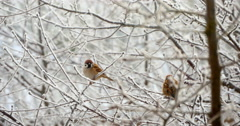 Sparrows In The Tree In Winter 4k Stock Footage