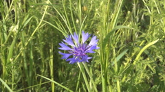 Closeup wild blue carnation in middle of a mountain pasture. Summer season. Stock Footage