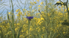 Wild blue flower and green grass  in the middle of a rape flowers culture. Stock Footage