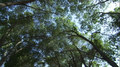 Worms-eye view of tall trees in a forest. Stock Footage