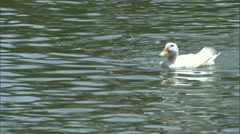 A duck ponders on a lake. - stock footage