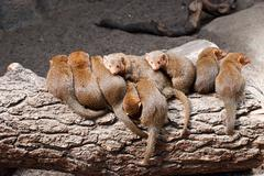 Mongoose. - stock photo