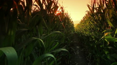 Farm corn grown in Thailand. Stock Footage