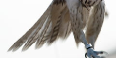 A falcon bird stands on the hands of man, with its wings spread. Stock Footage