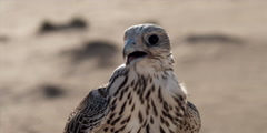 A man removes the head cap from a falcon, and it looks around. Stock Footage
