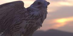 Close shot of a falcon bird. Stock Footage