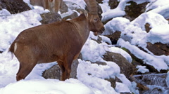 Male Alpine ibex (Capra ibex) near a brook. Stock Footage