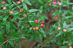 Plant, pink blooms, small green leaves - stock photo