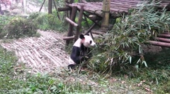 Giant panda bear at zoo. Chengdu. Sichuan. China. Stock Footage