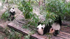 Giant panda bear at zoo. Chengdu. Sichuan. China. - stock footage