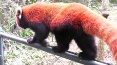 Red panda bear at zoo. Chengdu. Sichuan. China. Stock Footage
