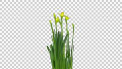 Growing, opening and rotating Narcissus with ALPHA, 4K Stock Footage