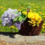 Summer basket with yellow dandelions and lilacs on meadow Stock Photos