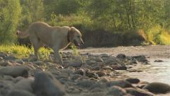 Golden lab walks along river Stock Footage
