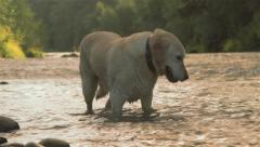 Golden lab plays in water Stock Footage