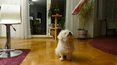 Dog Bichon Standing on 2 Feet Dancing For Food Stock Footage