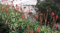 4k Red blossom Aloe flowers Funchal harbor Madeira Footage
