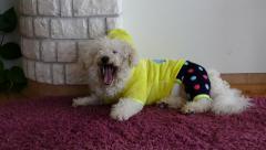 Bichon Dog Yawning - Dog Yawn - Dressed Dog Stock Footage