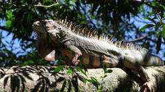 Iguanas, Reptiles, Wild Animals Stock Footage