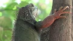 Iguanas, Reptiles, Wild Animals - stock footage