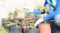 Gardener cultivates roses Stock Footage