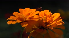 Orange Flowers, Insects, Pollenation Stock Footage