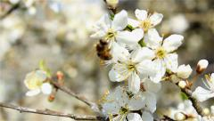 industrious bee on blossom - stock footage