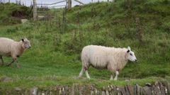 Sheep grazing near Trefriw, North Wales Stock Footage