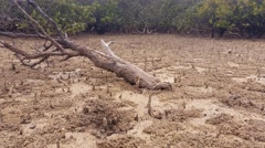 Mangrove Swamp Forest - Marine Estuaries Mud Flats Stock Footage