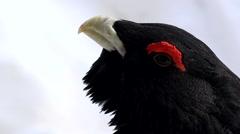 wood grouse (cock) - Tetrao urogallus - stock footage