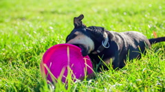 Stock Video Footage of Chew the frisbee on a grass
