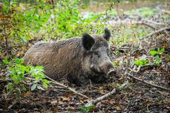 Adult female wild boar resting in the forest nature park, Netherlands Kuvituskuvat