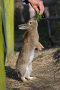 Man feeding a wild rabbit with a green grass in enclosure, Netherlands - stock photo
