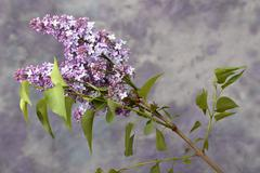 Syringa vulgaris - stock photo