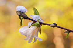 Magnolia under ice - stock photo
