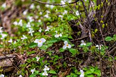 Trilliums Growing Around a Tree with Fallen Branches - stock photo