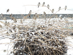 Winter and sparrows. Related clips are in my portfolio in 1920x1080. Stock Footage