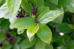 Sweetshrub (Calycanthus floridus) - stock photo
