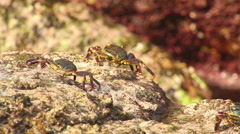 Crabs on the rock Stock Footage