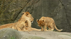 Lion Cub, Lion, Baby, Play, Family, 4K Stock Footage