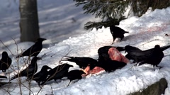 Crows in winter Stock Footage