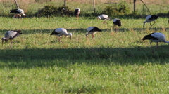 Storks in a Meadow - Stock Footage