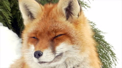 Close up red fox (Vulpes vulpes) in the snow. - stock footage