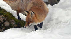Slow motion red fox (Vulpes vulpes) walking in the snow. - stock footage