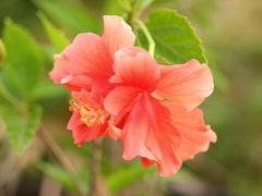 Hibiscus red flower - stock photo