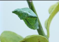 Close-up  pupa Stock Photos