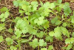 Green coriander - stock photo