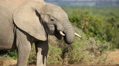 African elephant drinking water, Addo Elephant National Park, South Africa Stock Footage