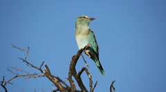 European roller perched on a branch against a blue sky Stock Footage