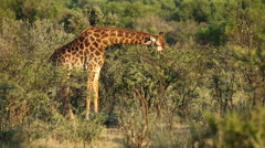 A giraffe (Giraffa camelopardalis) feeding on an Acacia tree, South Africa Stock Footage